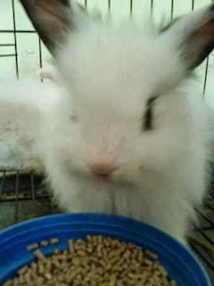 cara merawat kelinci angora