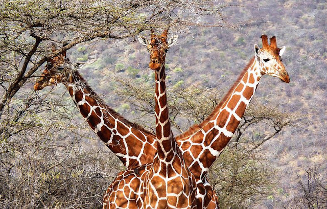 Buy canvas print of Three Headed Giraffe