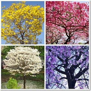 Ipês - cores e paisagens