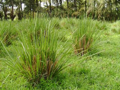 Vetiver (Vetiveria Zizanioides) Overview, Health Benefits, Side effects
