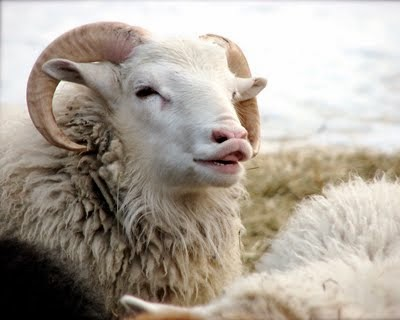 never trust a smiling ram