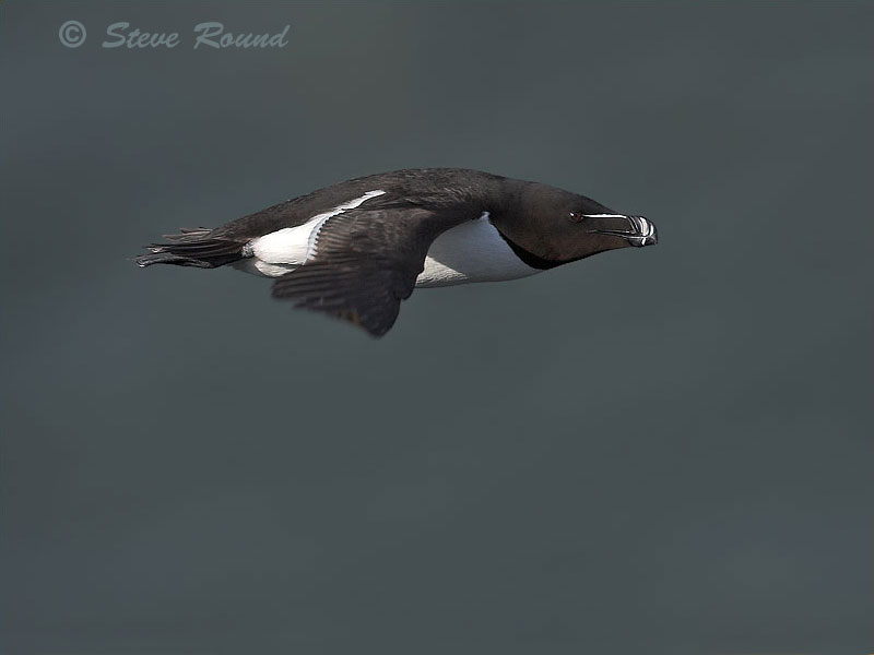 bird, nature, wildlife, in flight, flying razorbill, auk
