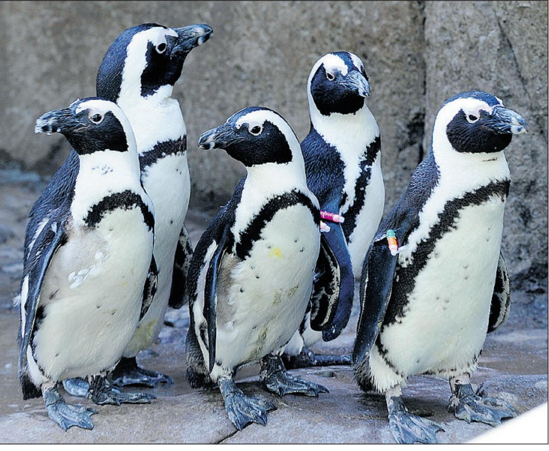 http://4.bp.blogspot.com/-YFZhVhQwNgs/UE7iDCYBroI/AAAAAAAABqk/gjXKiNYtHrE/s1600/African+Penguin3.jpg?vm=r