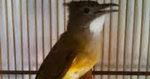 cara paling ampuh agar burung cucak jenggot cepat gacor