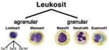 Obat Leukosit