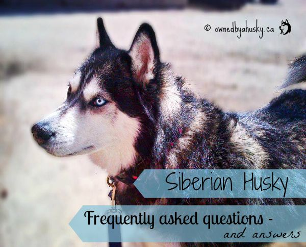 Siberian Husky - Frequently Asked Questions