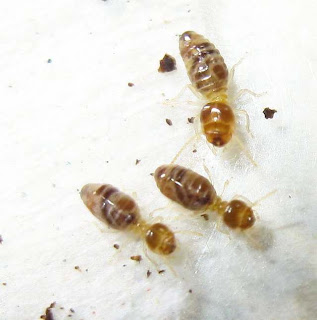 Major and minor workers of Bulbitermes termites