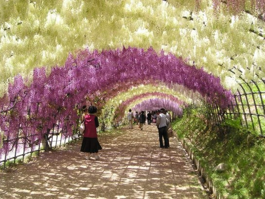 tunel de flores wisteria Glisinas kawachi fuji japon