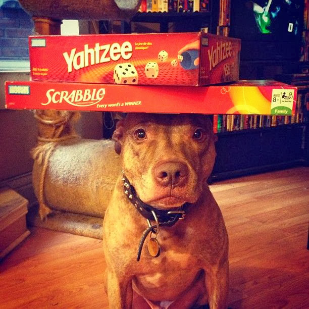 Scout the pit bull balances stuff on his head (30 pics), stuff on Scout's head, scout balances board games on his head