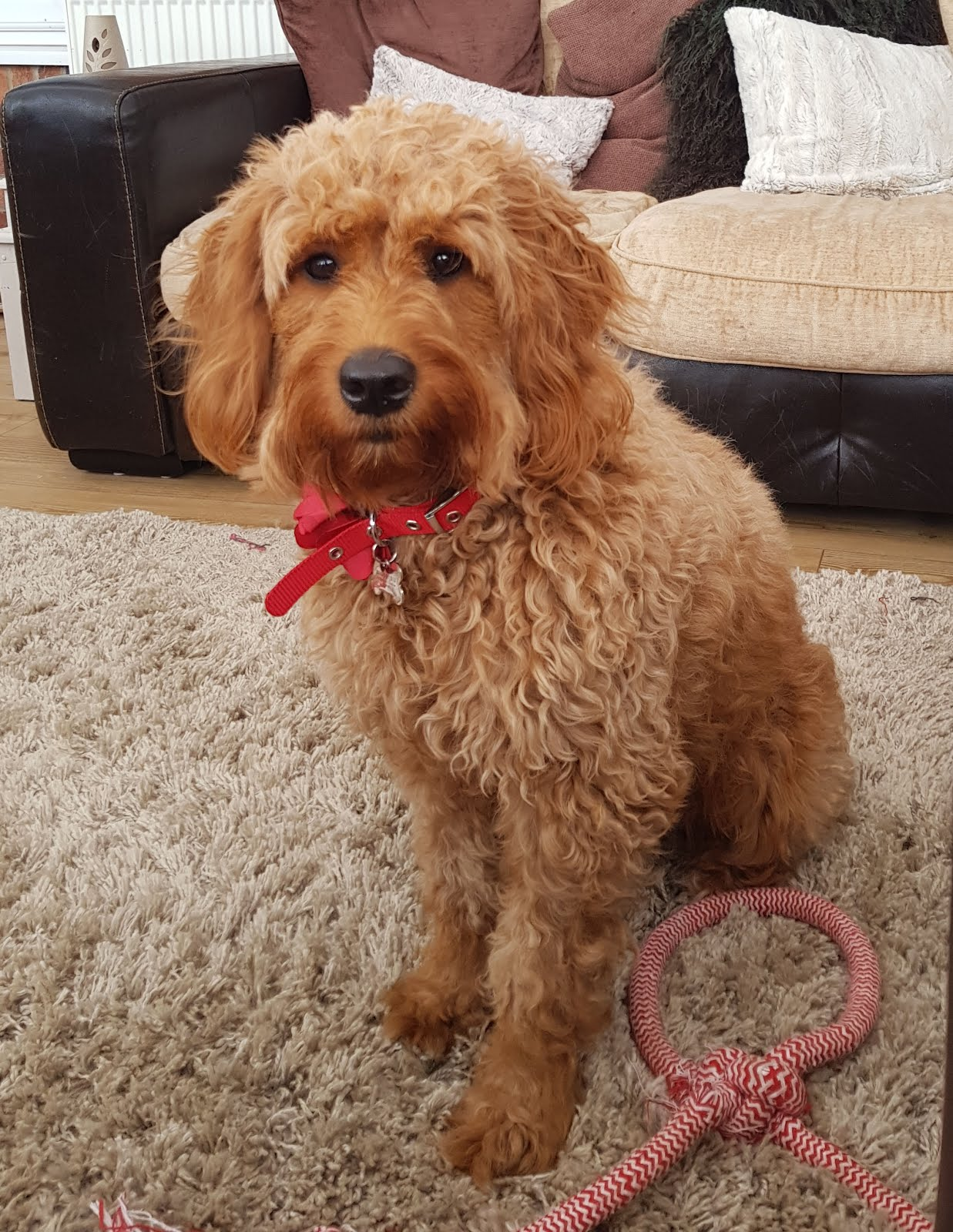 Poppy our Miniature Goldedoodle