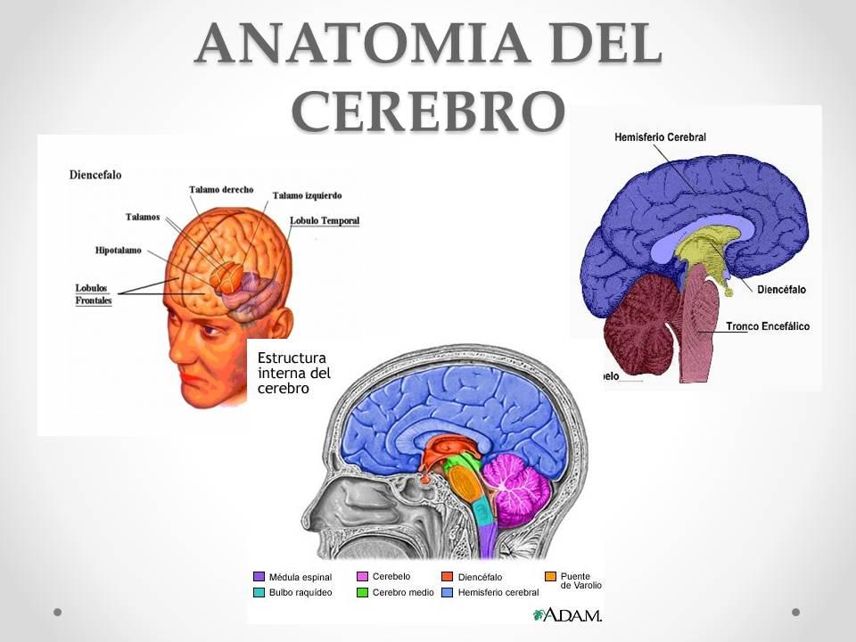 DIAPOSITIVAS DEL SISTEMA NERVIOSO | NEUROCIENCIAS