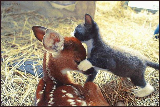 kitten kisses deer in head, funny animal pictures of the week