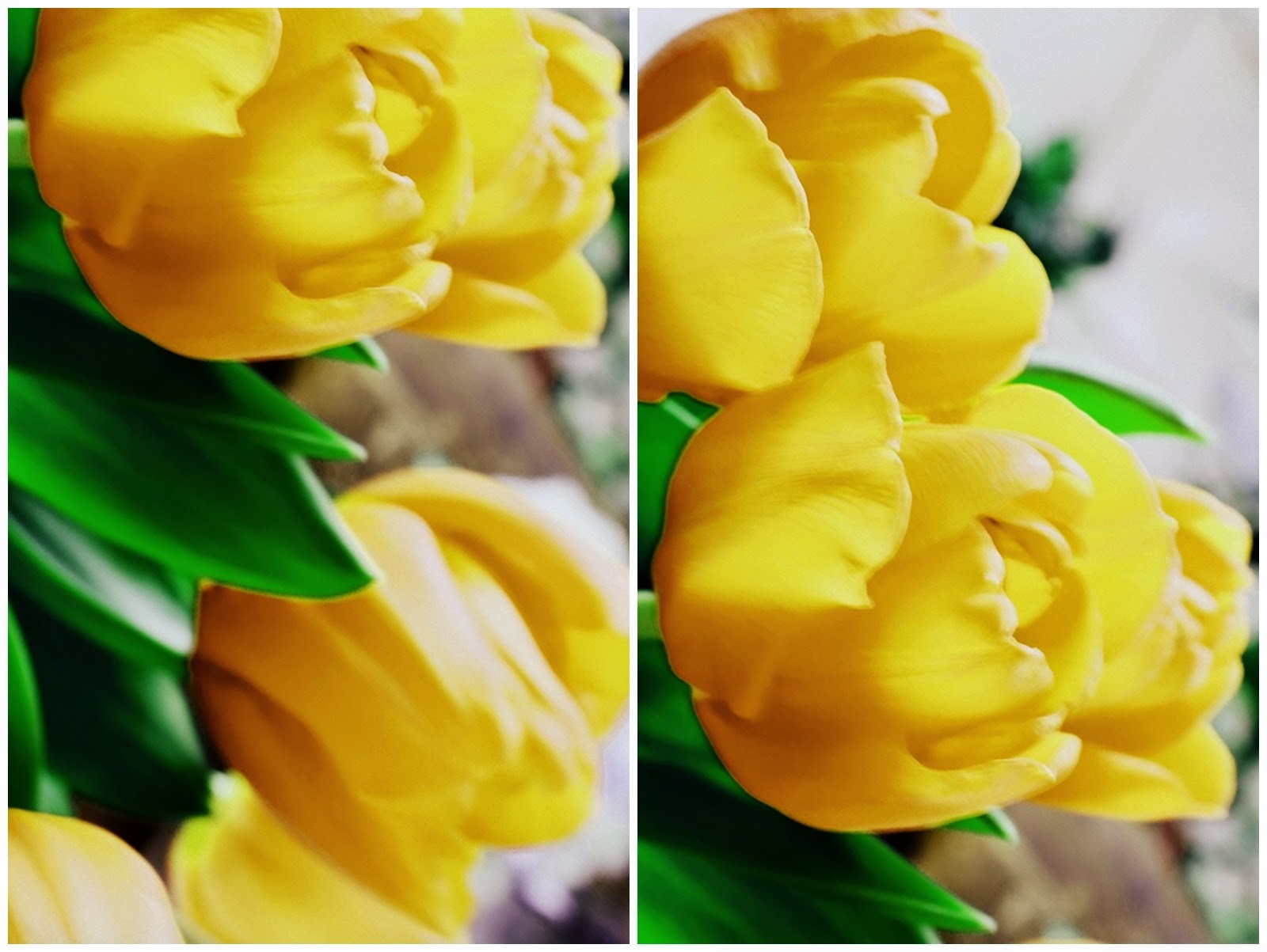 yellow may tulips