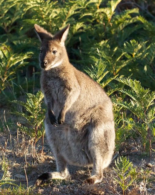 Bennett's wallaby (Macropus rufogriseus)