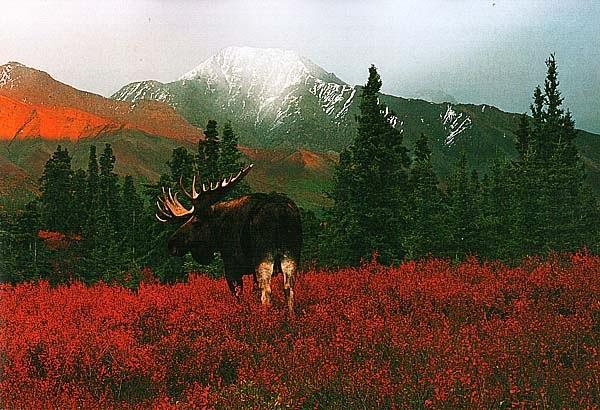 Аляскинский лось в Денали
