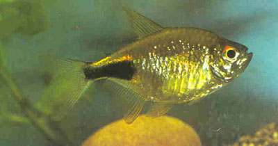 common name black wedge tetra garnet tetra pretty tetra species