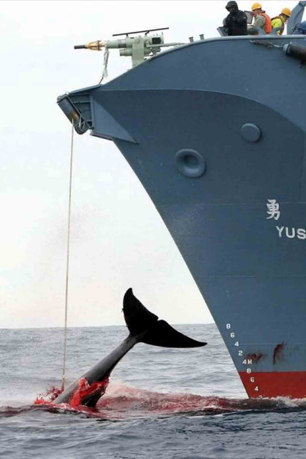 "japanese whale research papers A whaling fleet sent by the japanese government in early december  the  nisshin maru, japan's ""research"" whaling fleet, leaves port for the."