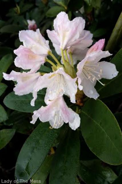 kukka, alppiruusu, flower