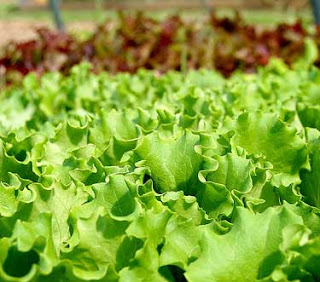 Bright green leaf lettuce growing in garden