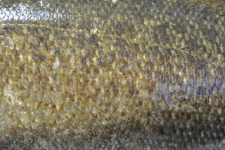 Smallmouth Bass Skin