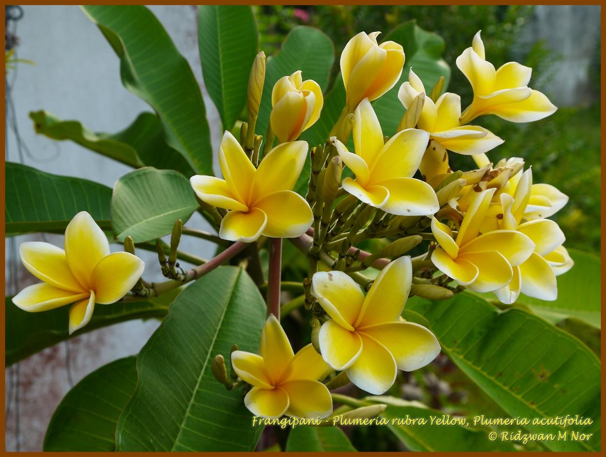 Frangipani, Plumeria rubra Yellow, Plumeria acutifolia ...