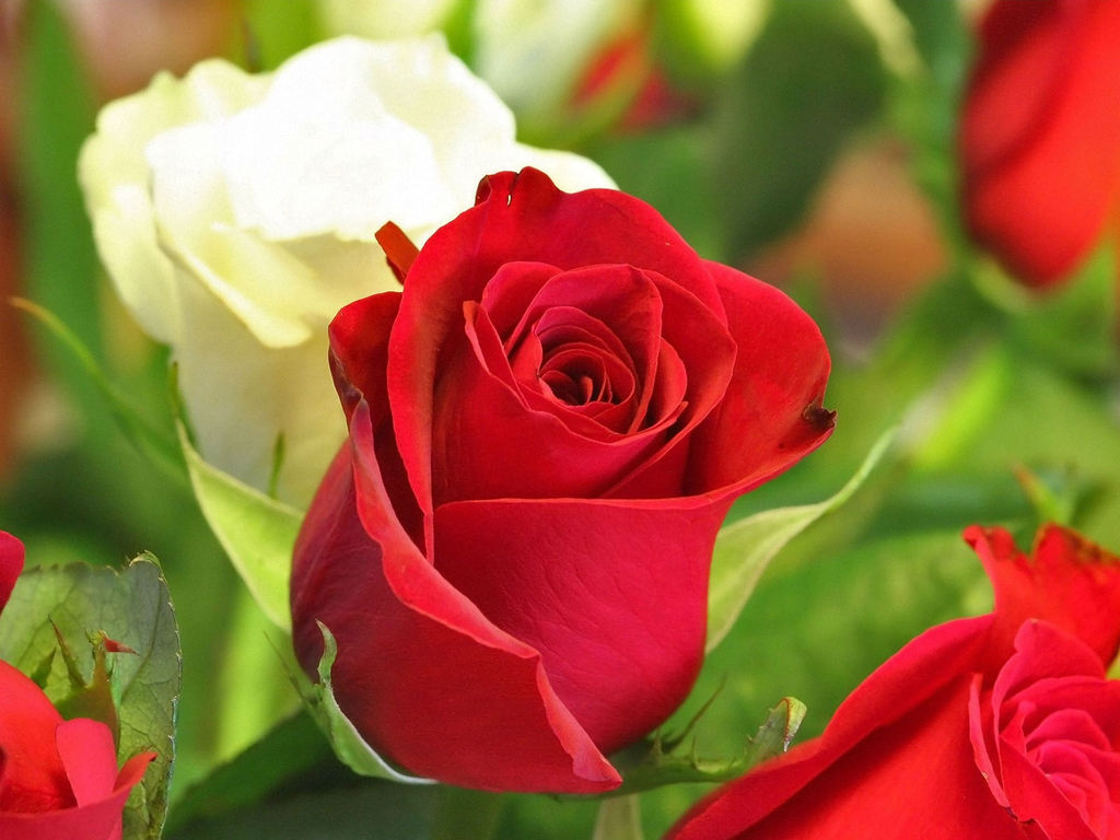 love rose flowers flower hd wallpapers images pictures