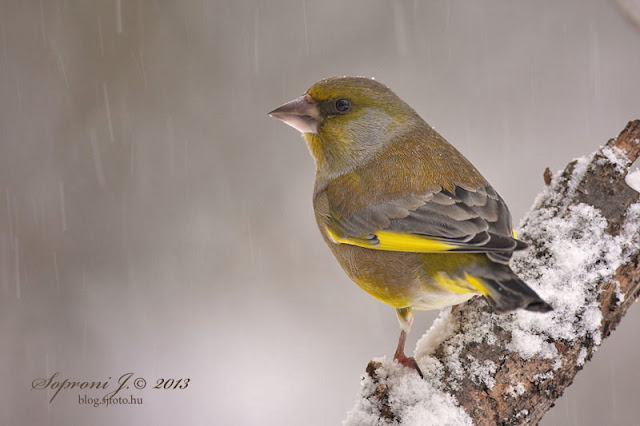 Zldike (Carduelis chloris)