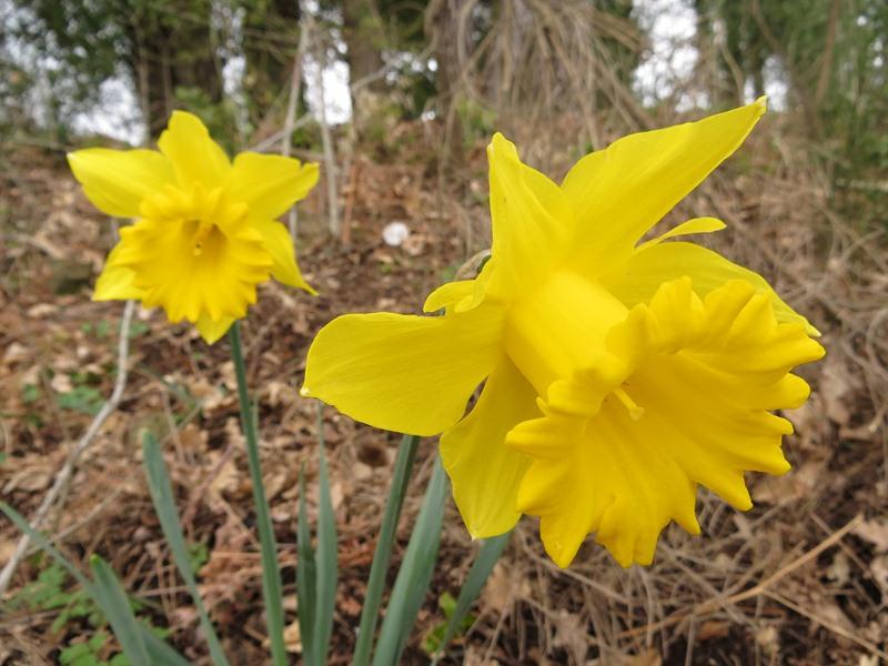 Arbusti e piante narciso trombone for Narciso giallo
