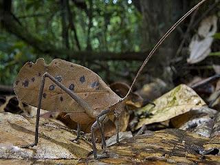 Insectos hoja - Pterochroza ocellata