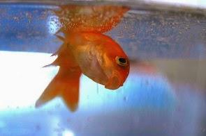 deadfish - Su'dan Konular - 4