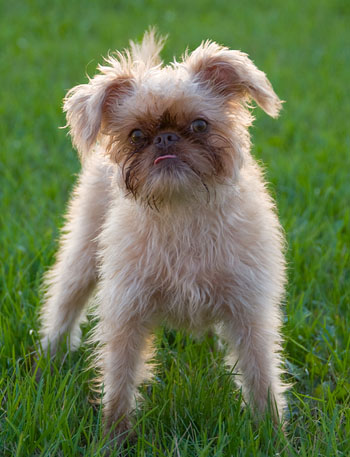 Brussels Griffon Puppies on Oh     So That S Where Gizmo Came From    Funny