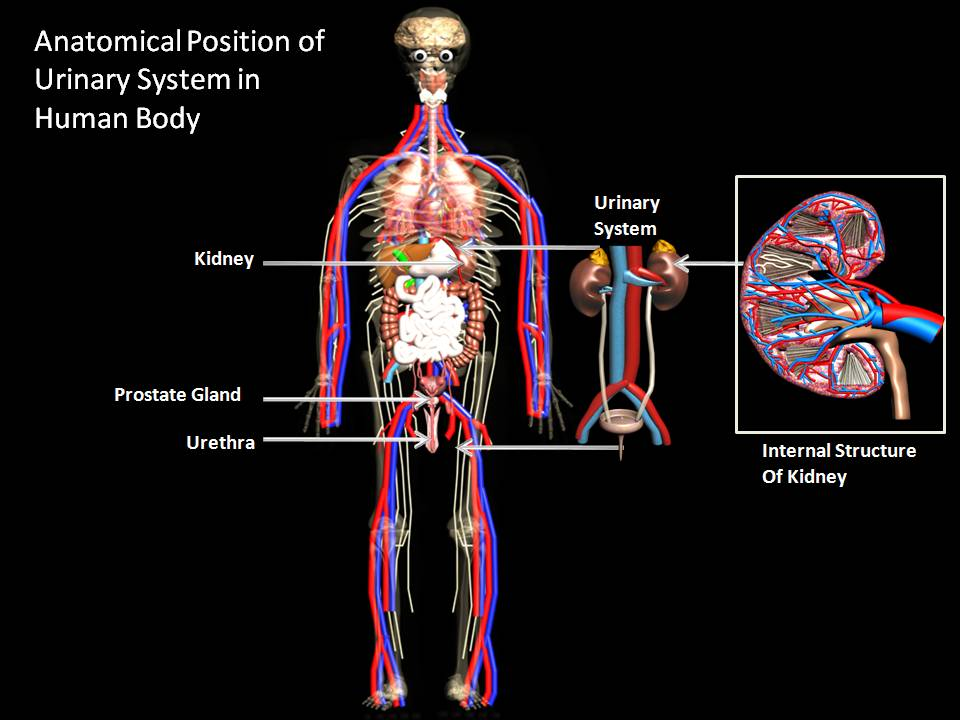 Manash Subhaditya Edusoft Urinary System Filter System Of Human Body