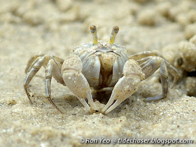 Sand Bubbler Crab (Scopimera intermedia)