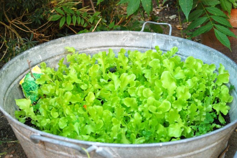 coltivare insalata in vaso
