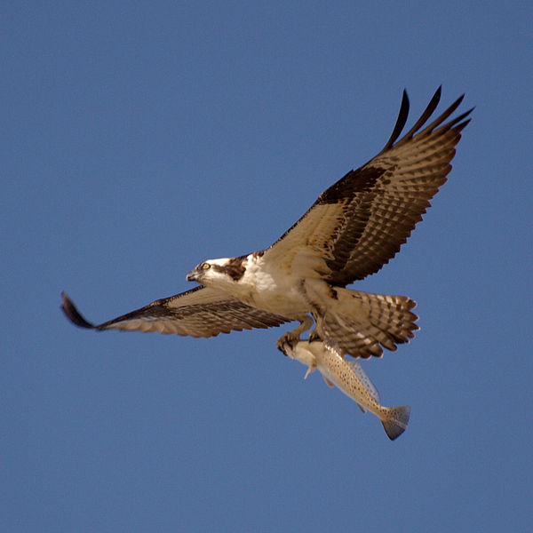 Rural living canada fortisbc osprey nest camera launches for Fish hawk bird