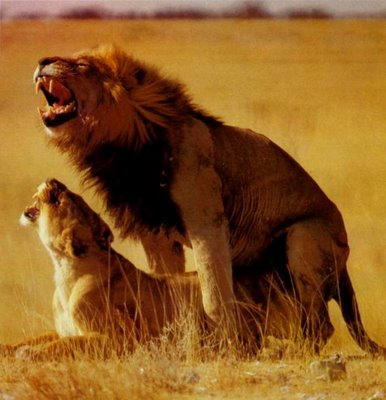 Los leones pueden reproducirse en cualquier momento del año.