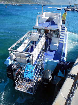 blue pointer shark diving boat