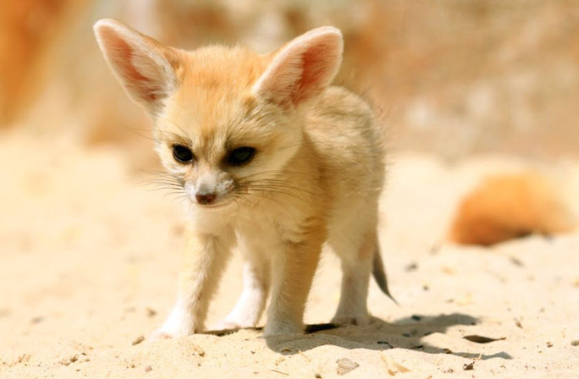 Foxes in the desert - photo#26