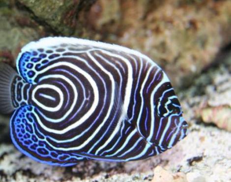 Animals unique angelfish pomacanthidae for Freshwater fish representative species