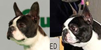 Pedigree Dogs Exposed - The Blog: Busted Bostons