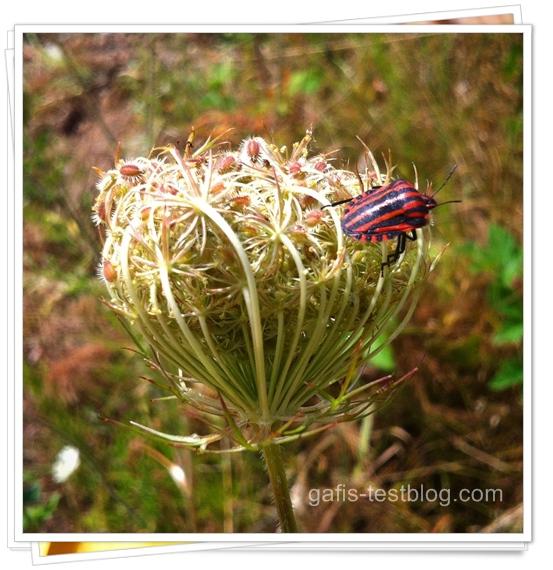 Schaftgarbe mit rotschwarz gestreiften Käfer