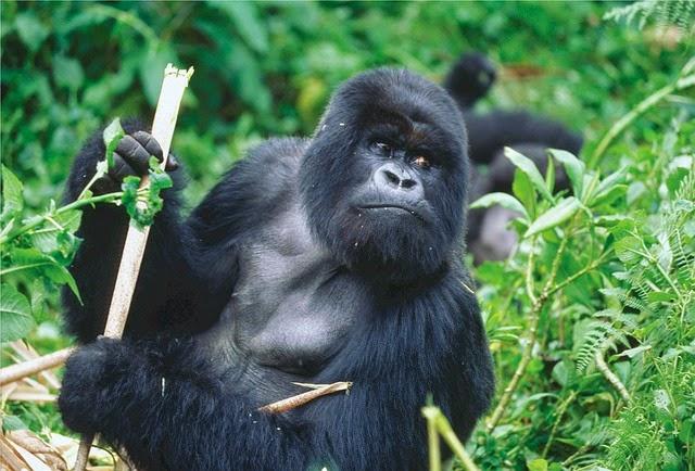 La población de gorilas de montaña se recupera