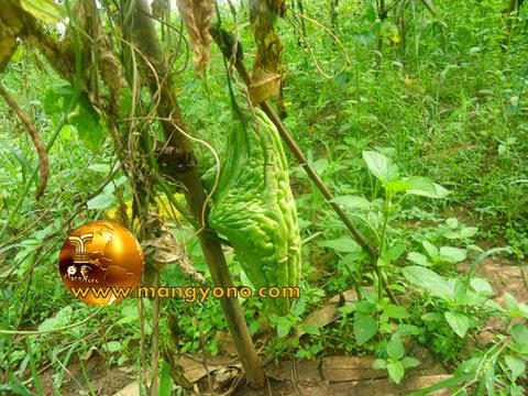 FOTO: Buah Pare sengaja di buat tua dan matang dipohon