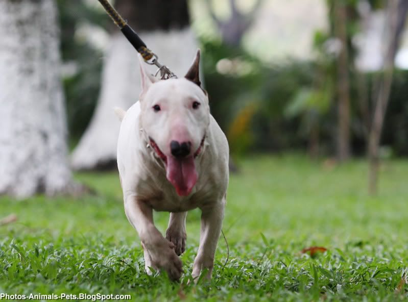 Mini Bull Terrier