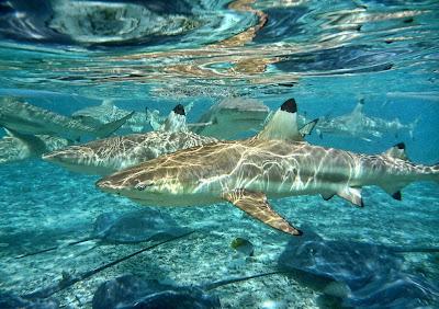 Peligrosos tiburones y mantarrayas en el fondo del oceano
