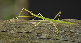 Insectos Pau