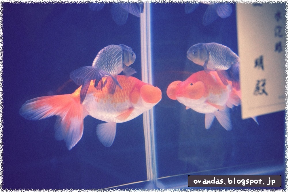 金魚がにらめっこしているような画像です。