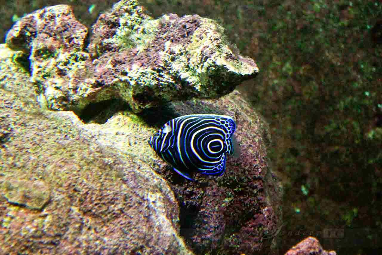 Juvenile Emperor Angel Fish