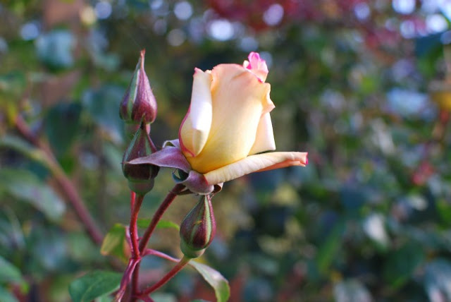 Yellow rose buds