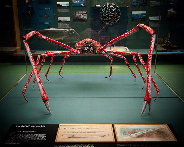 Japanese Spider Crab Size